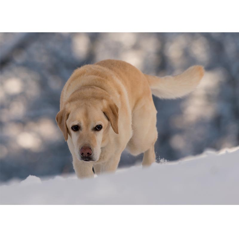 The Labrador Rescue Trust   Mia Christmas Card (Pack of 10)